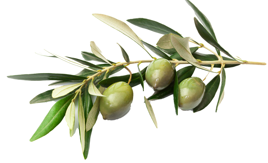 olives-branch-with-leaves